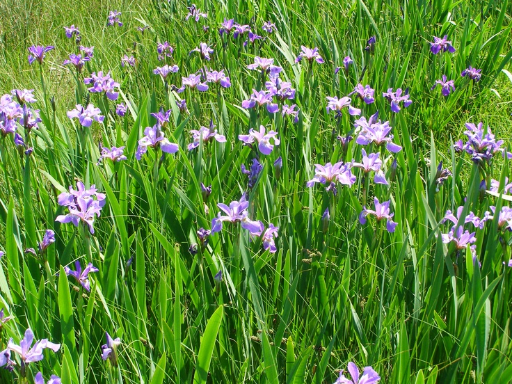 Field of Iris's in Newfoundland. Pic taken By Alyx Perry.