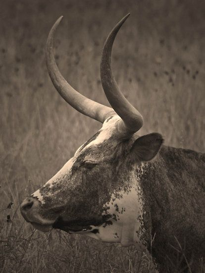 Long horn, this is going to be a tattoo on my side! Always been obsessed w/ long horns.