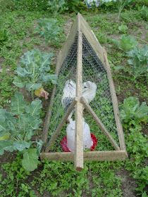 crow: chicken tractor