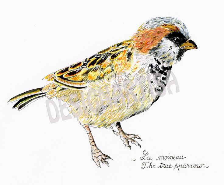 Watercolor-The True Sparrow- Digital print A4 by IsabelleSarre on Etsy