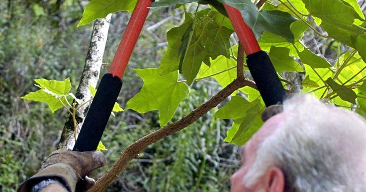 Cómo hacer tu propia pintura para árboles podados. Si bien no todos los árboles necesitan pintura para heridas luego de ser podados, algunas veces tiene sentido aplicar pintura para árboles luego de hacerlo. Algunos árboles como los robles, olmos, arces, sauces y abedules pueden albergar hongos que entran por los cortes, lo cual eventualmente matará al árbol. Los insectos perforadores también ...
