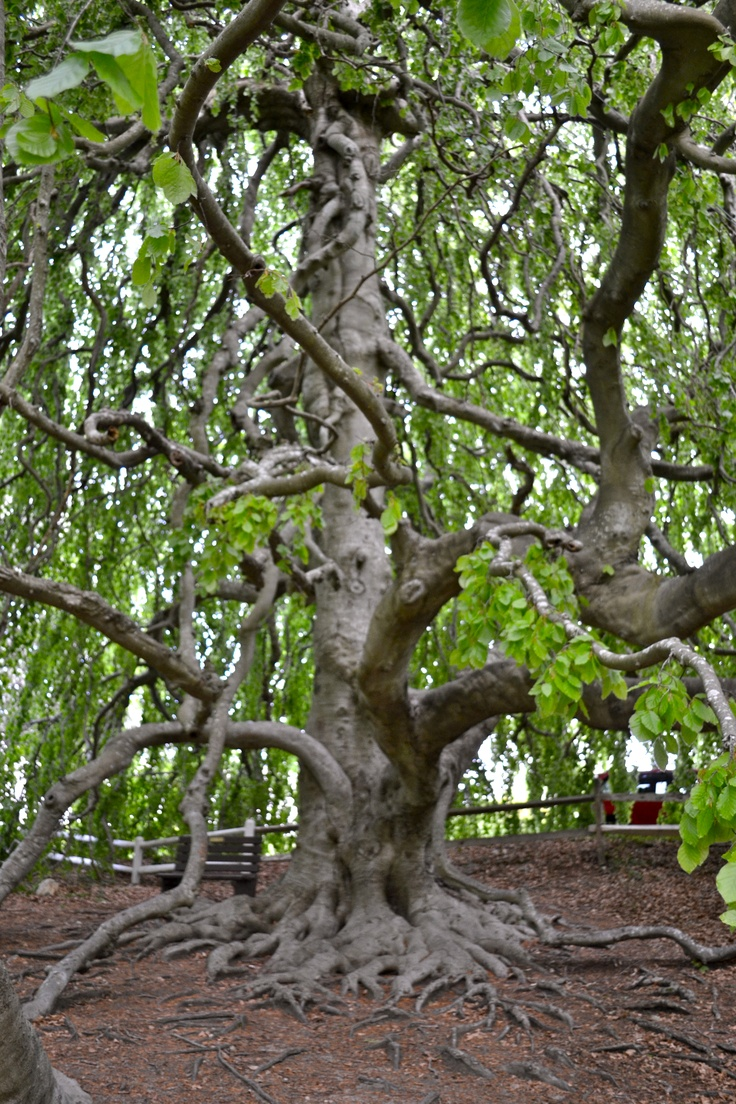 95 best Beech Trees images on Pinterest | Beech tree, Color schemes ...