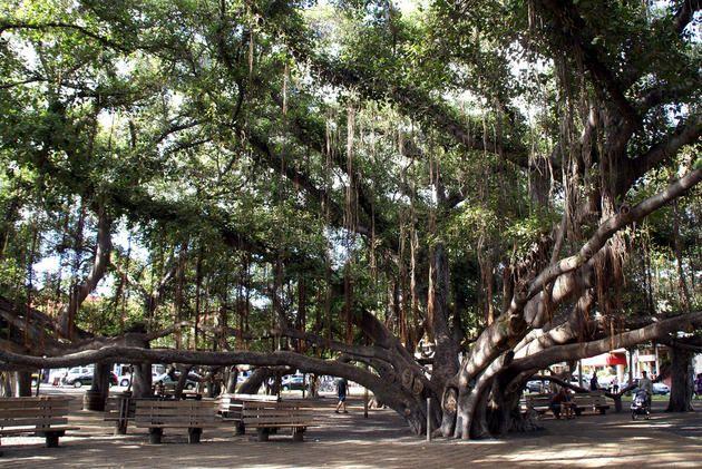 Lahaina Banyan Tree Park - Lahaina, Hawaii