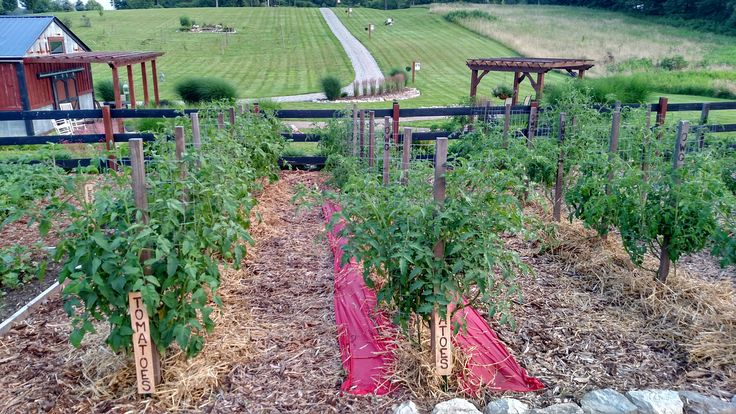Pruning Tomatoes - How and Why For A Better Crop This Year!