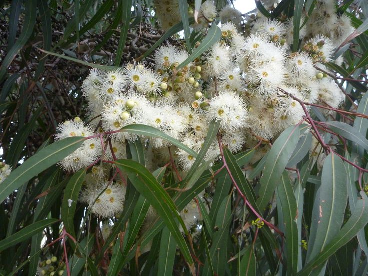 Lemon Scented Gum (Eucalyptus citriodora also known as Corymbria citriodora) flowering in July in Adelaide (domestic planting).