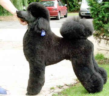 Standard Poodle Puppies for Sale | puppy for sale standard poodle breaders standard poodle pictures
