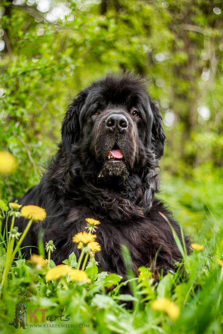 Newfoundland Dog Newfoundlanddog Chien Terre Neuve Races De