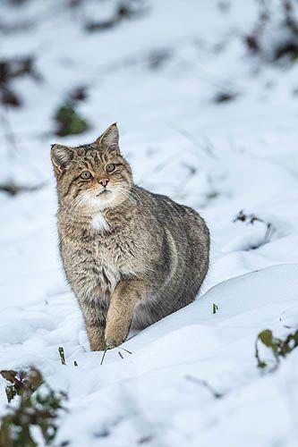 Wildcat, Felis silvestris, Poland. Żbik w Bieszczadach foto A&W Bilińscy
