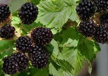 Thornless Blackberry Sweet Delicious Blackberries with No Thorns- No Spraying- No Fuss! 2 yr stock for $50