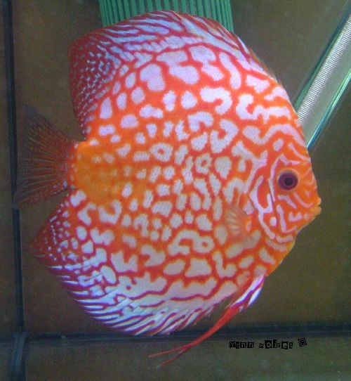 Pin by meghan ithika on crazy fish lady pinterest for Live discus fish for sale