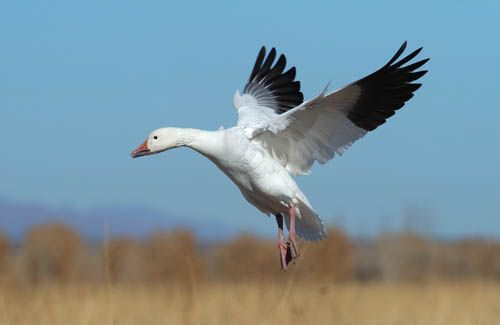 The Art of the Snow Geese Hunt http://sportsmanslifestyle.com/the-art-of-the-snow-geese-hunt/