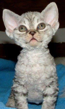 best pictures ideas of devon rex kitten - most affectionate cat breeds