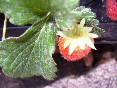 ΣΥΝΤΑΓΕΣ ΤΗΣ ΚΑΡΔΙΑΣ: Φράουλες και ... φραουλιές!