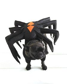 DIY Spider-Dog Pet Costume | Martha's beloved French bulldogs are all dressed up for Halloween, too. Francesca, disguised as a devious black widow spider, is out to catch the little moth Sharkey in her web!