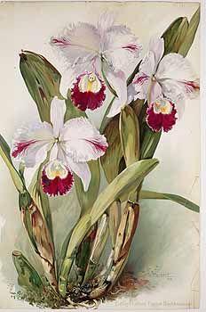 43561 Cattleya labiata Lindl. var. trianae / Orchis, vol. 1: t. 1 (1907) [W. Zachert]