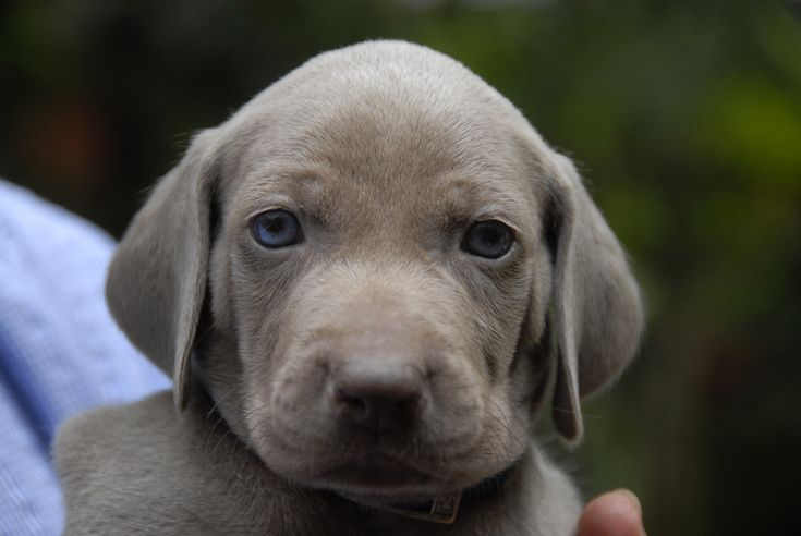 Weimaraner 74 Background - DogBreedsWallpapers.com