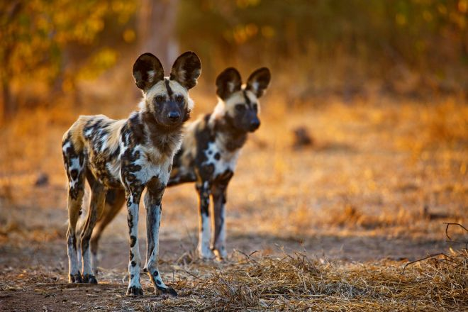 What Wildlife Shows Don't Tell You About African Wild Dogs – Phenomena: Not Exactly Rocket Science