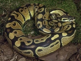 Python royal Python Regius