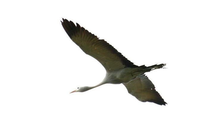 A blue crane in full flight often seen in the surrounds of #Hermanus http://www.windsorhotel.co.za/