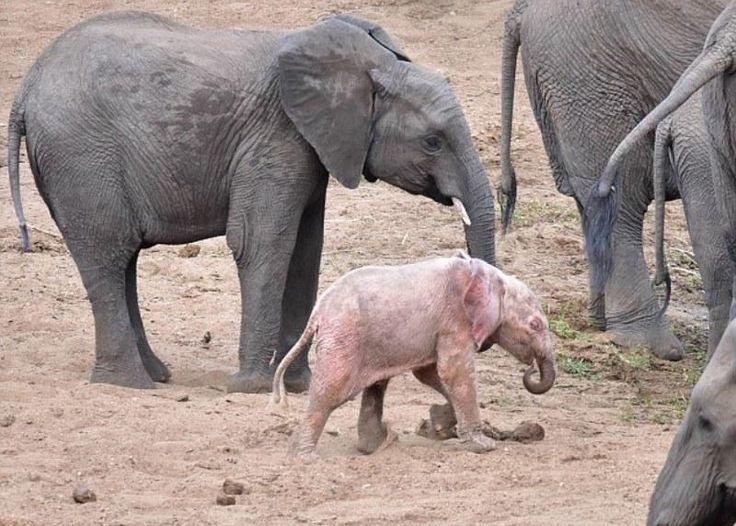 La storia del piccolo elefante rosa Esistono solo tre specie di elefanti al mondo, cambiano le dimensioni e la provenienza geografica, eppure una cosa li accomuna tutti, il colore della pelle: il grigio. Eppure questo cucciolo fotogra #elefante #rosa #colore