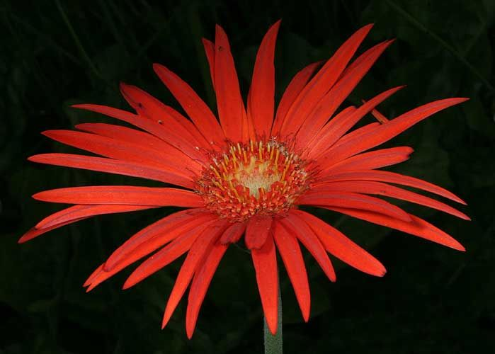 It is annoying to me that Gerbera jamesonii is growing for my friend Ernie DeMarie in New York and not in my garden.