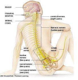 INTRODUCTION to the MOST COMPLEX SYSTEM of ALL in YOUR BODY: THE NERVOUS SYSTEM A diagram of the main parts of a neuron Overvi...