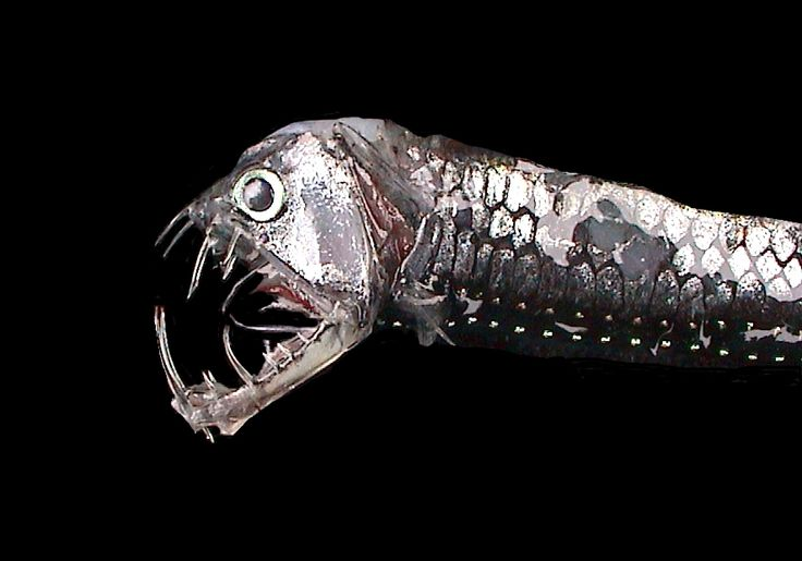 A Rare Deep Sea Predator – Viperfish | I Like To Waste My Time