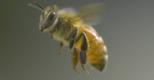 A photographer has caught fascinating slow-motion footage of honeybees flying, working and even stinging.