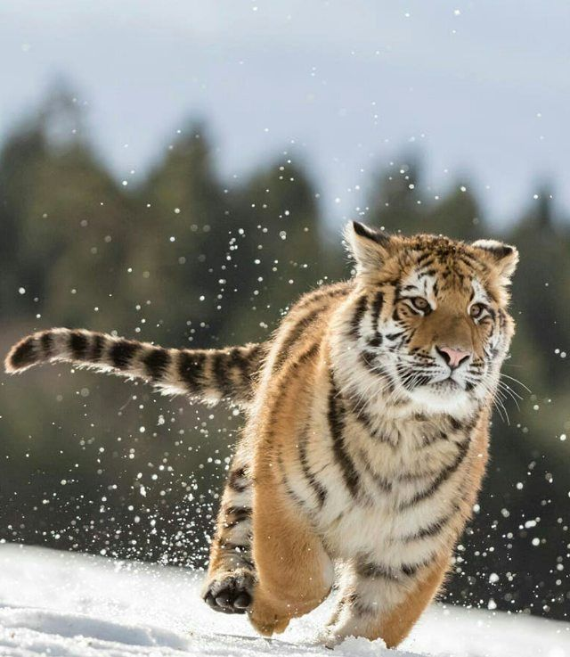 """483 Likes, 4 Comments - Wild Geography (@wildgeography) on Instagram: """"Run tiger run!  Photography by Norbert Liesz #Wildgeography"""""""