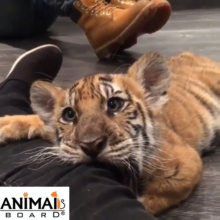 Little cute tiger's baby
