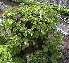 Potato garden: Potato Method, Planting Potatoes, Potato Gardening, Potatoes I, Grow Harvest Potatoes, Growing Potatoes, Potatoes Grown, Grow Potatoes