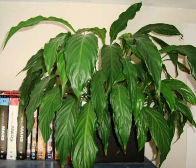 peace lily on the end of a bookcase house plants pinterest the end lilies and peace. Black Bedroom Furniture Sets. Home Design Ideas