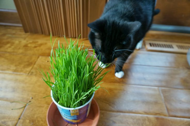 Growing Wheat Grass for the Cats (and dogs) - keep them out of the houseplants this winter!
