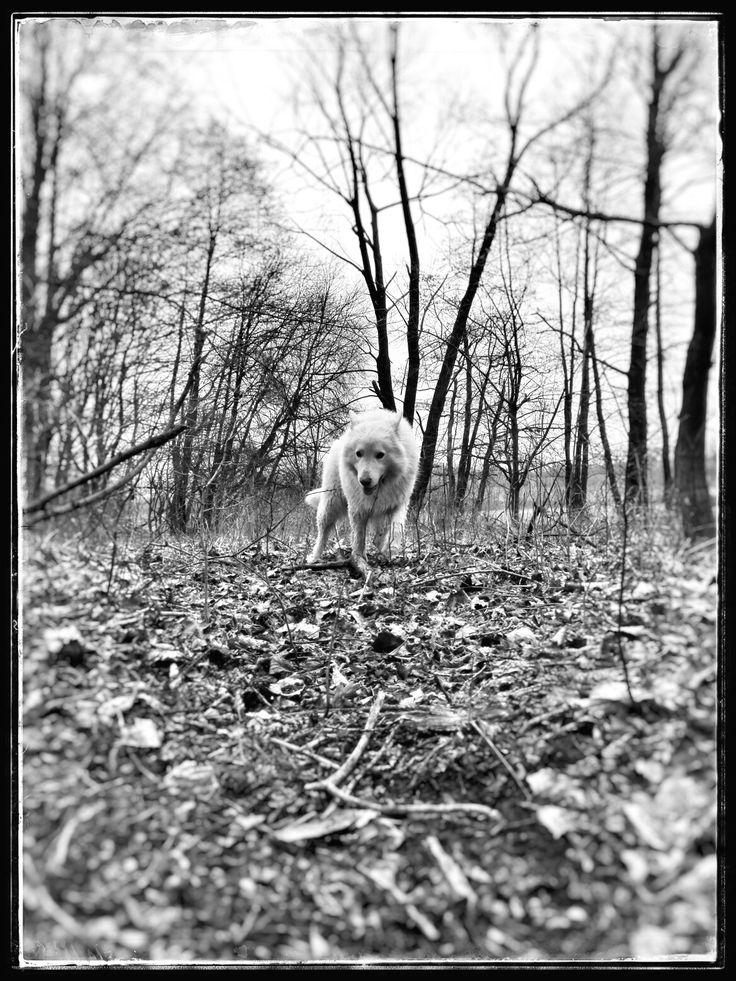 Wolf or dog?  #BergerBlancSuisse