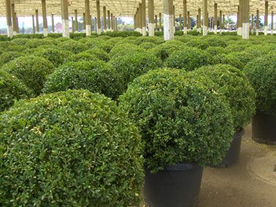 buxus 'green beauty'-- globes