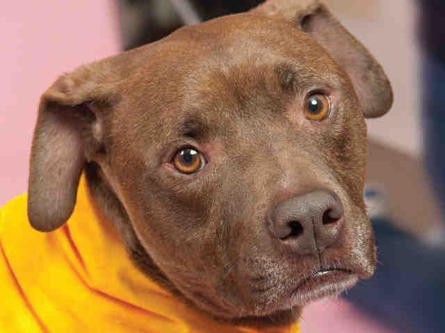 Hercules - Pit Bull Terrier - Adult - Animal Friends - Pittsburgh, PA. - http://www.thinkingoutsidethecage.org/site/c.elKWIeOUIhJ6H/b.8540911/k.8819/Animals_Dog.htm - https://www.facebook.com/AnimalFriends - http://www.adoptapet.com/pet/11623363-pittsburgh-pennsylvania-pit-bull-terrier - https://www.petfinder.com/petdetail/30366482/