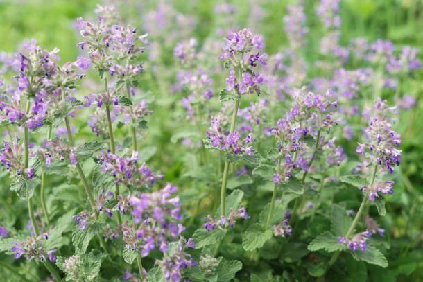 Katzenminze Beruhigt Und Entspannt Katzenminze Pflanzen Mehrjahrige Pflanzen