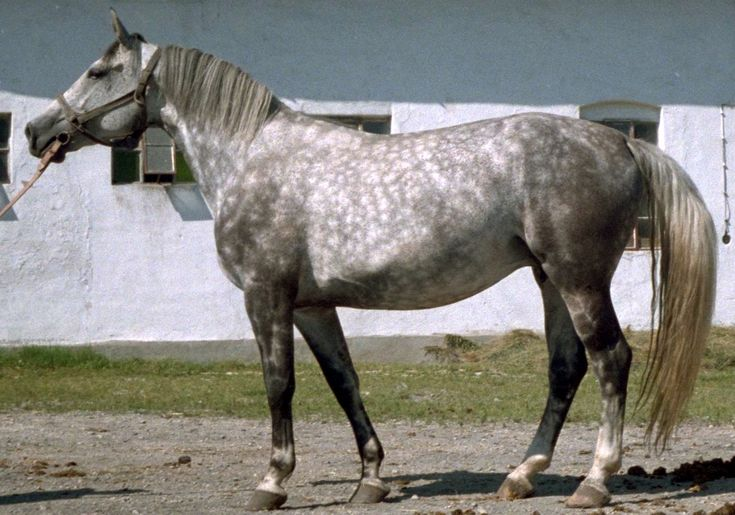 The Silesian horse, Polish: Koń śląski, Silesian: Ślůnski kůń, is a breed of warmblood horse from the area of historic Silesia, which lies mostly within modern Poland. It is the heaviest of the Polish warmblood breeds, and has been influenced mainly by the Thoroughbred and Oldenburg, and partly by the East Friesian and German halfbred.