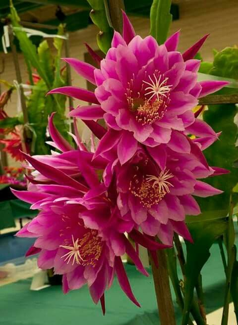 Scented (I hope) orchid cactus