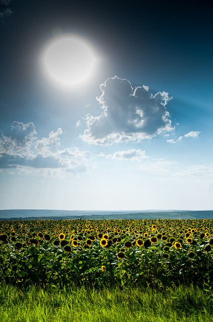 Sunflower Field | Romania. On my last train ride in the country, I remember staring out the window only to see a sea of yellow!
