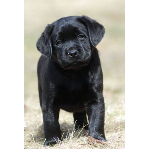 Massachusetts breeder of AKC English style labrador puppies