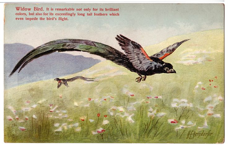 Widow Bird. It is remarkable not only for its brilliant colors, but also for its exceedingly long tail feathers which even impede the bird's flight. Vintage postcard from the Animal Series V, 2.