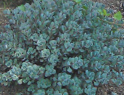 Sedum 'Cauticola' became one of my favorite drought tolerant plants in my garden. I planted it on a very dry, sunny slope and it does very well and needs hardly any care. Mix it with other plants that do not need a lot of water such as Juniper, Sedum 'Autumn Joy', Geranimum 'Rozanne' (lovely blue flowers) and Thyme. http://www.landscape-design-advice.com/xeriscape-plants.html
