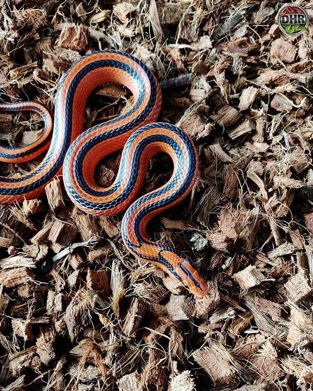 One Of Our Thai Red Mountain Rat Snakes Oreocryptophis