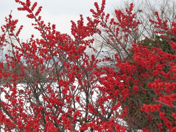 Pretty plants with red berries or branches that provide pops of color to gardens all winter long. These plants are hardy to at least 0 degrees (some to -40!), so they'll thrive in most any colder clime.