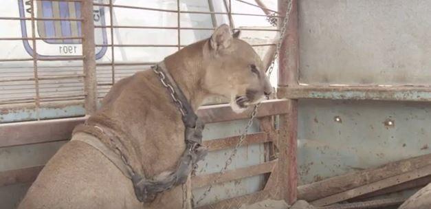生まれてからほぼずっと鎖に繋がれていたとされるオスのピューマ。それが自由になる瞬間を捉えた動画が話題となっている。 20年間も錆びついた鎖に繋がれる この動画を撮影したのは動物保護団体のAnimal Defenders International(ADI)。彼らによればそのピューマの名前はMufasaといい、