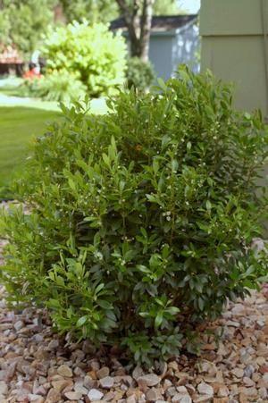 Ilex glabra, a great native alternative to boxwood