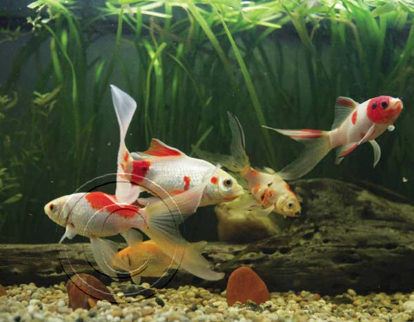 Best 25 Comet Goldfish Ideas On Pinterest Silver Fish Image