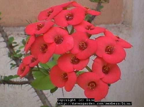 Full size picture of Crown of Thorns, Christ Plant, Siamese Lucky Plant (Euphorbia milii)