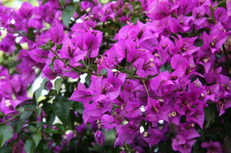 Bougainvillea glabra in voller Blüte – sie trägt den etwas unschmeichelhaften deutschen Namen Kahle Drillingsblume